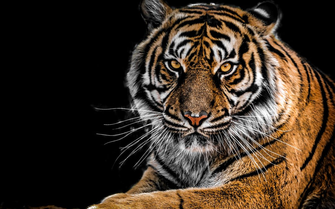 A Leap in the Dark: Animal Fortunes for the Wood Tiger Month February 2018