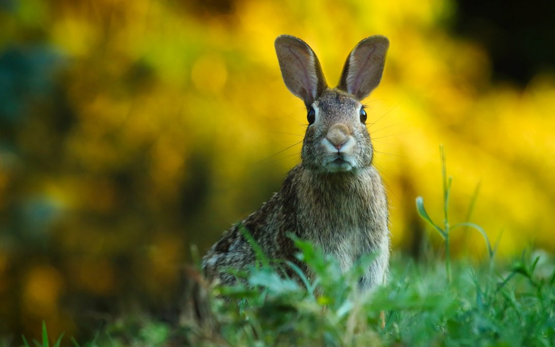 Budding: Animal Fortunes for the Wood Rabbit Month March 2018