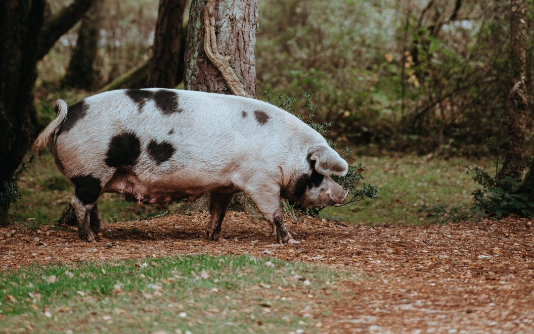 Bringing home the Bacon: the Water Pig Month